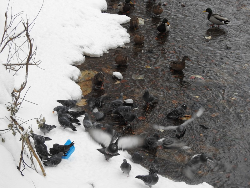 Кряквы и сизые голуби