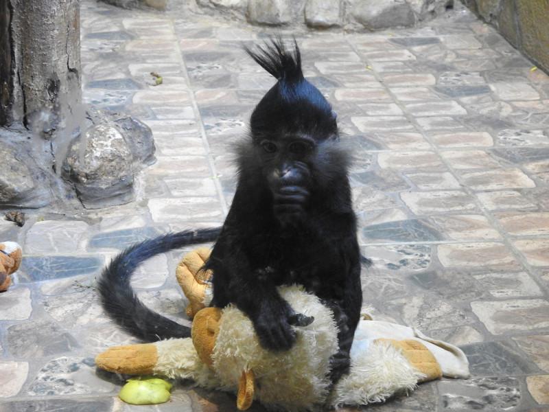 Черный мангобей
