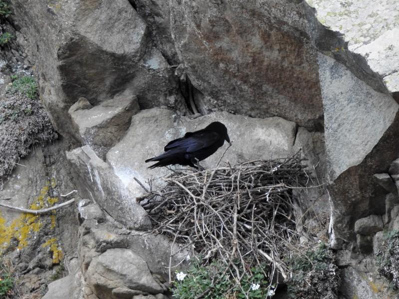 Черный ворон на гнезде