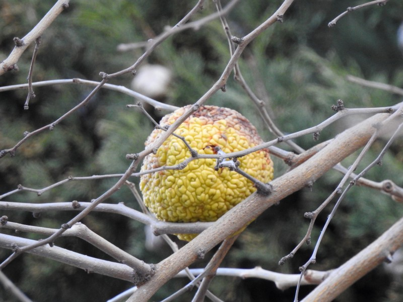 Адамово яблоко (плод маклюры)