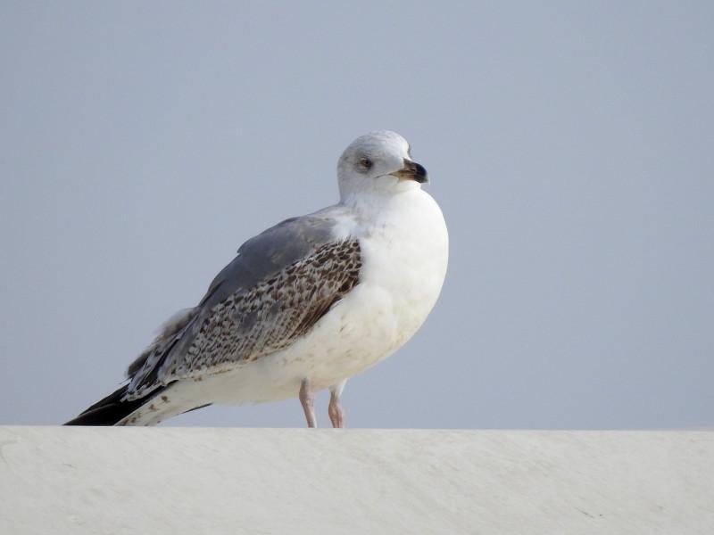 Средиземноморская чайка. Молодая птица.