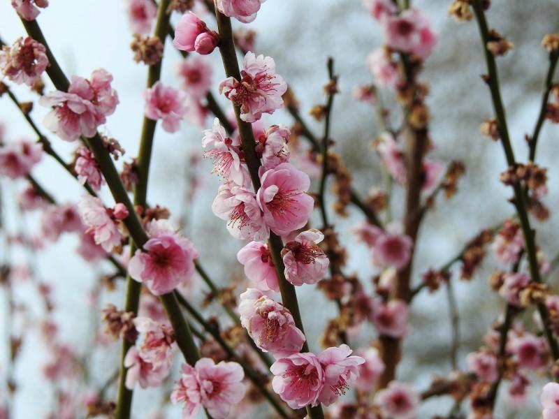 Абрикос муме (японский) к цвету