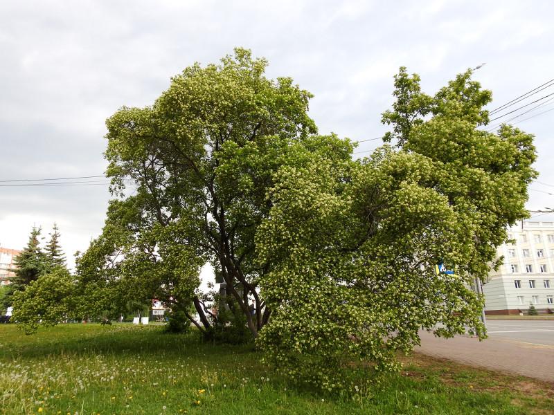 Клён татарский (черноклён)