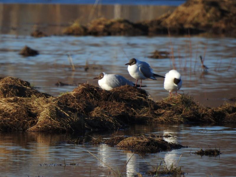 Озерные чайки