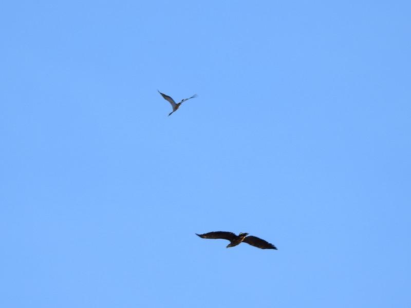 Вверху — серый журавль. Внизу — орлан-белохвост