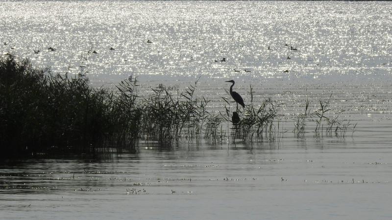 Серая цапля у берега Ижевского водохранилища