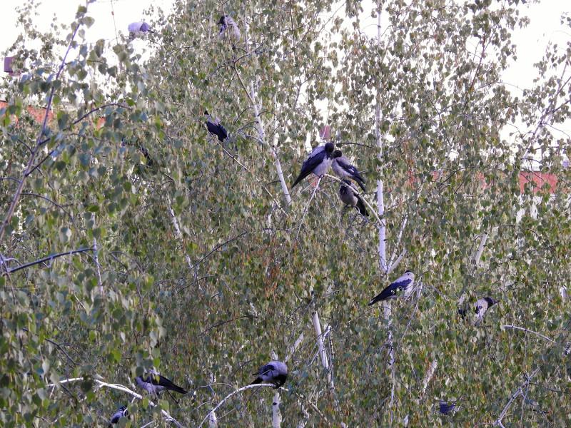 Серые вороны