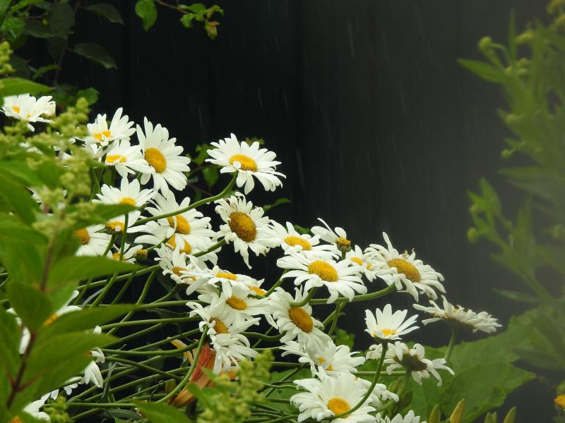 Садовые ромашки