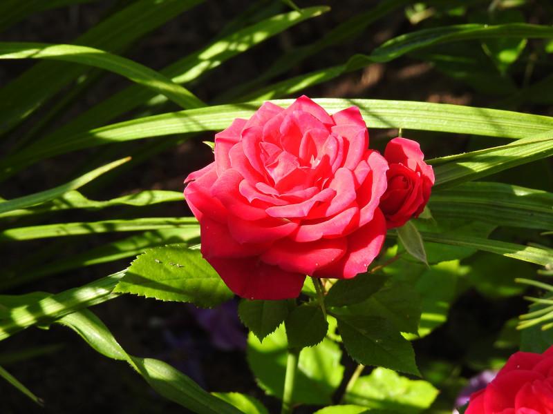 Роза из серии кордана. 8 августа 2021.