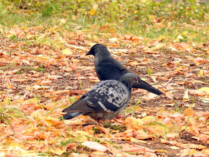 Галка и сизый голубь