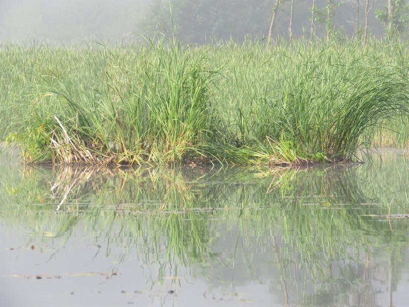 Камыши в утреннем тумане