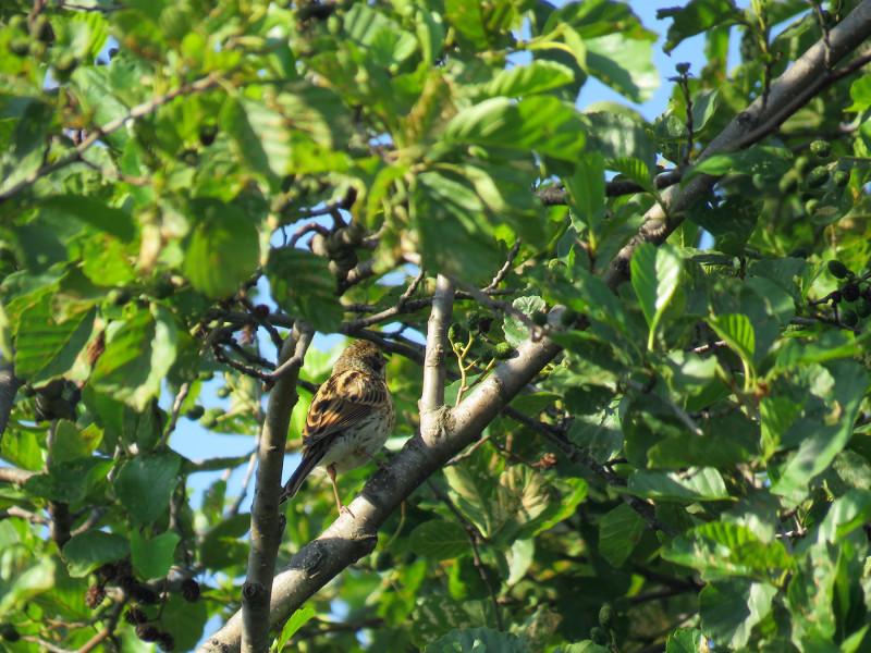 Самочка камышовой (тростниковой) овсянки