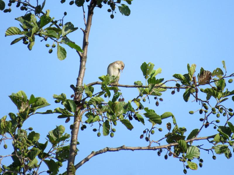 Камышовка-барсучок