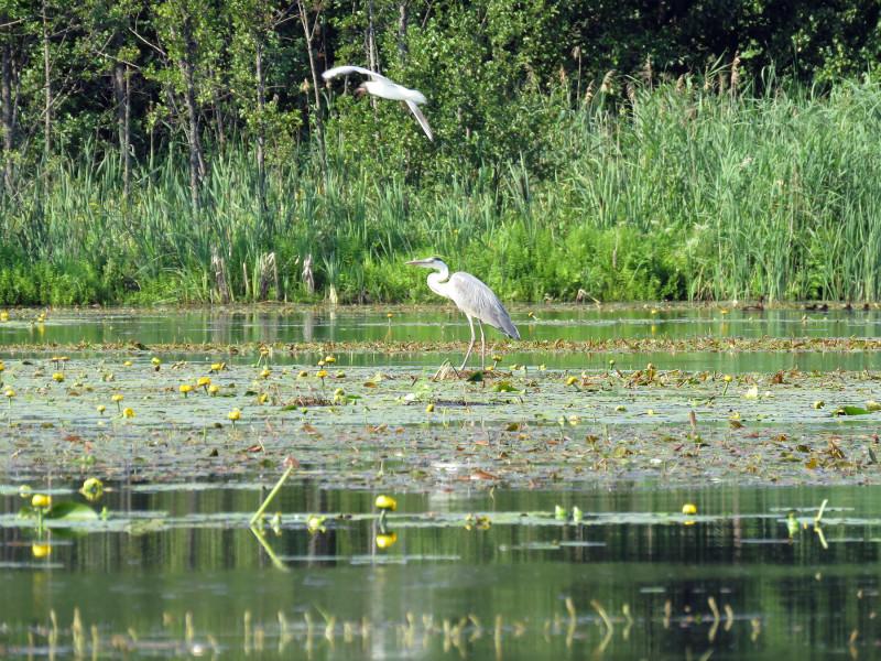 Озерная чайка пролетела так низко над серой цаплей, что цапле пришлось нагнуться
