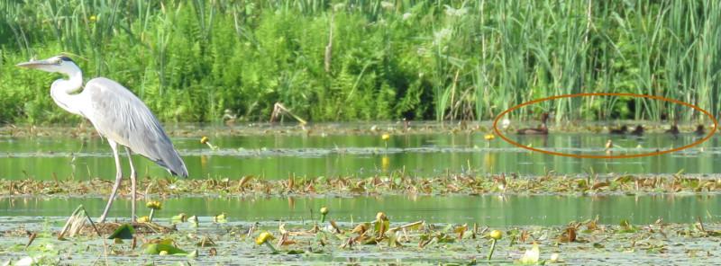 Слева серая цапля, справа - самка хохлатой чернети с птенцами