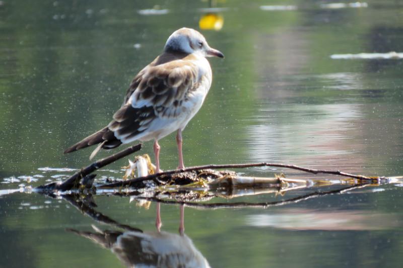 Молодая озерная чайка