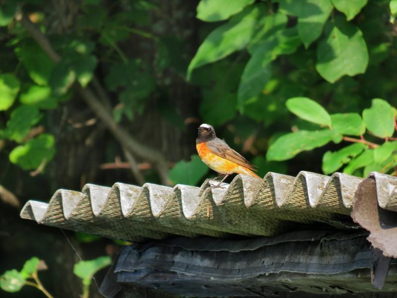 Обыкновенная горихвостка (горихвостка-лысушка)