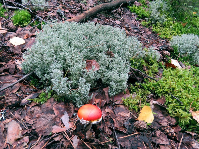 Мухомор и мох, и ягель