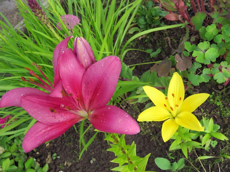 Лилии и лилейники в нашем саду