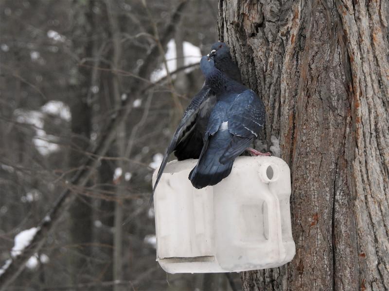 Парочка сизых голубей
