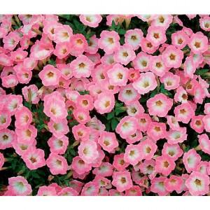 petunia_soft_pink_morning_lg