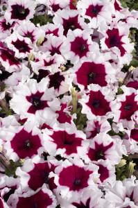 petunia-hybrida-celebrity-burgundy-frost-t1362-1