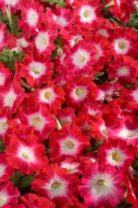 petunia-hybrida-celebrity-red-morn-t1532-2