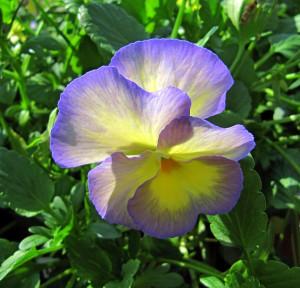 petunia-in-sunlight-joseph-schmidt