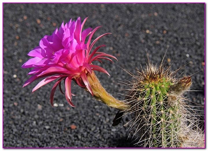 cactus F1a