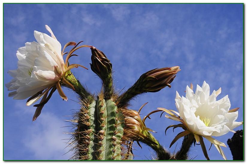 cactus F2