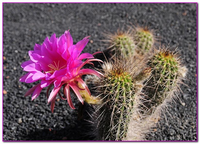 cactus F1