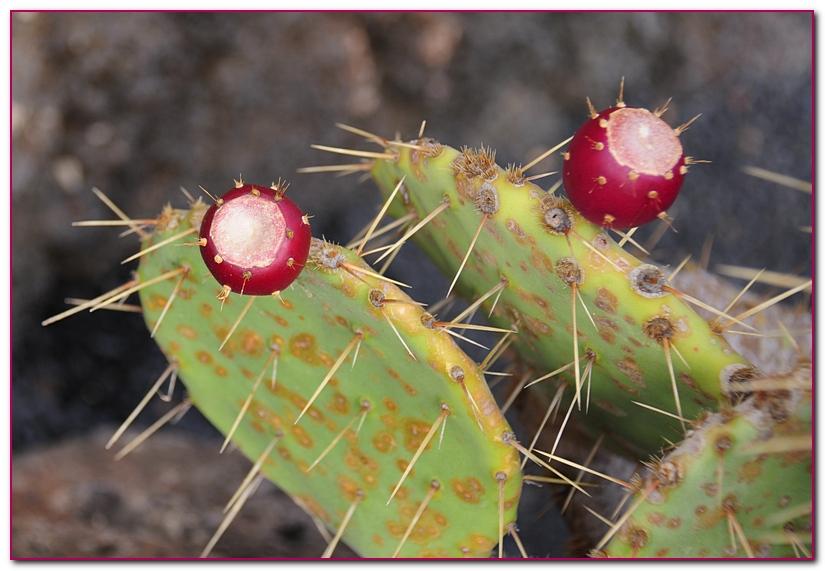 cactus F4a