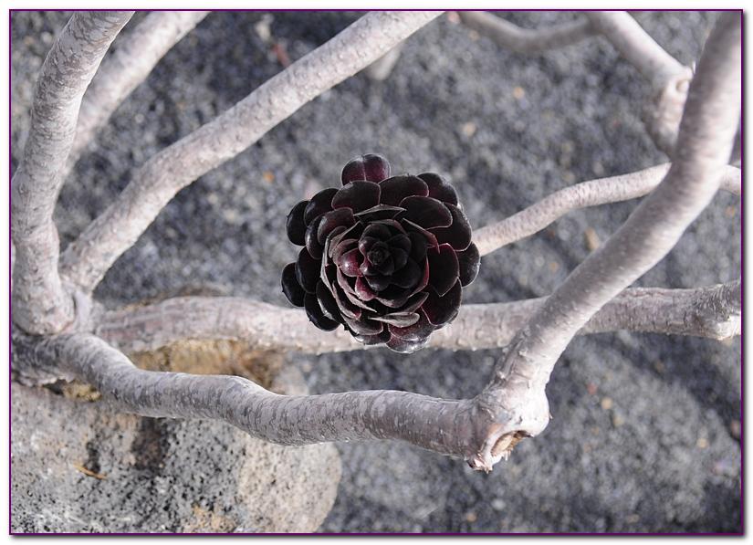 cactus F8