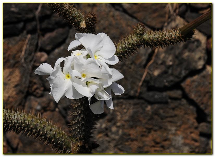 cactus F13