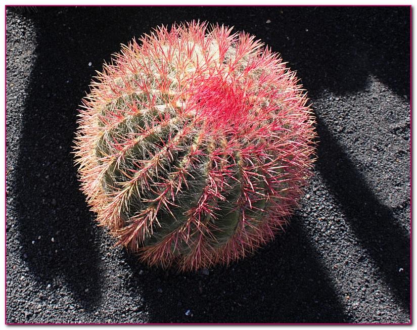 cactus F15