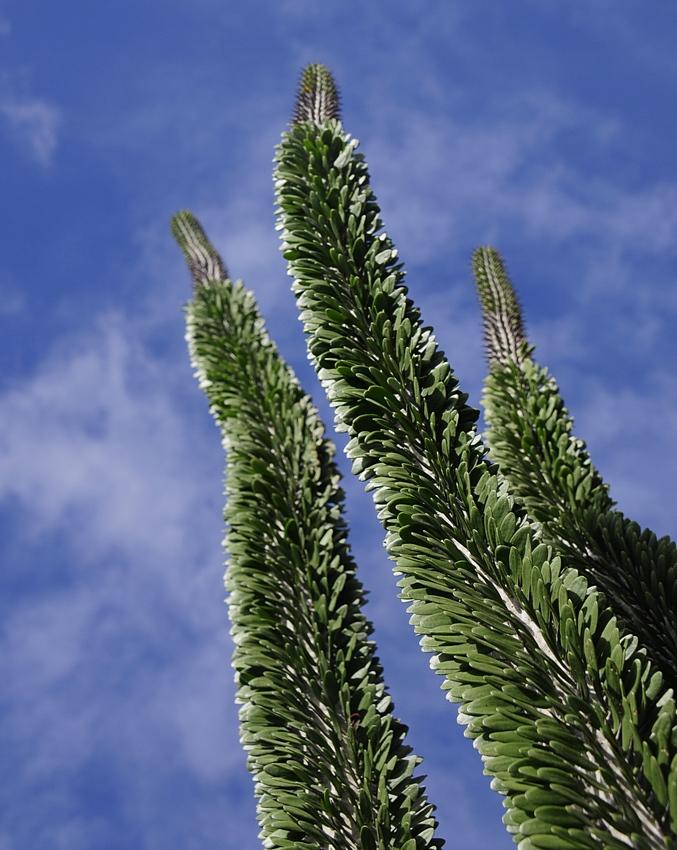 cactus 32