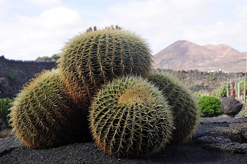 cactus 26