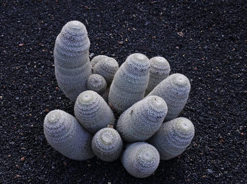 cactus 27