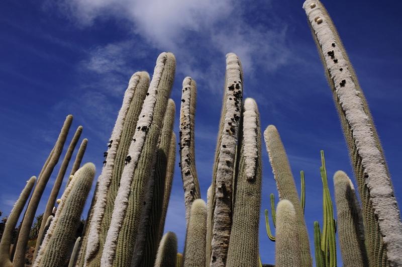 cactus 31