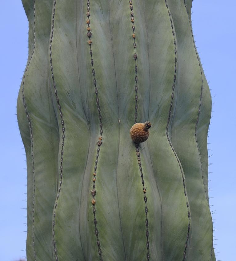 cactus 33