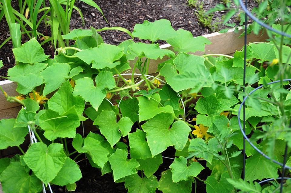 lemon cucumber vines taking over everything