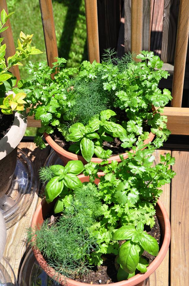 2 pots full of dill, cilantro, and basil