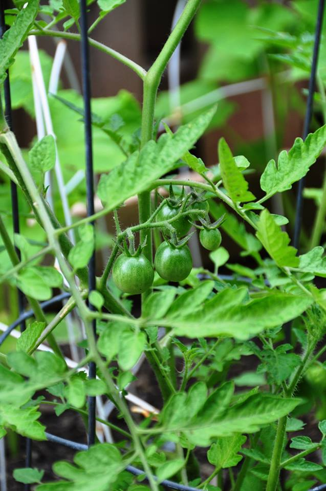 baby white tomatoes on the vine (unripe)