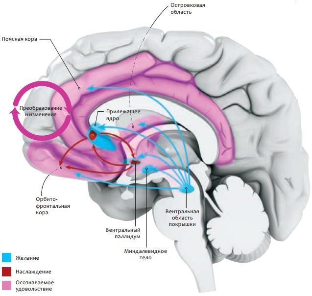 Центр сексуального удовольствия в мозгу
