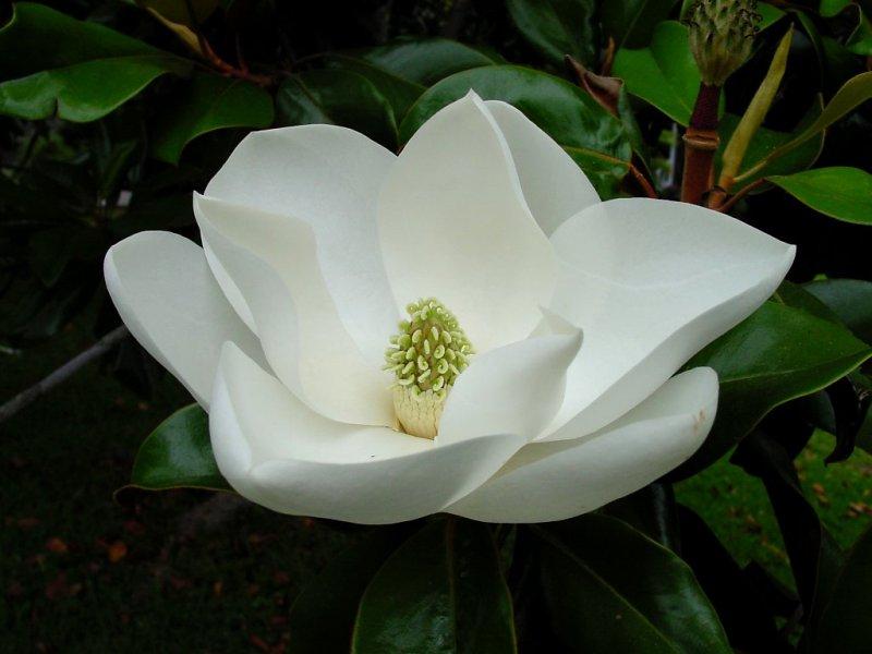 magnolia_enl4h_enl