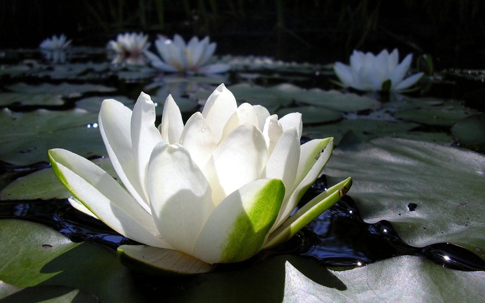 belii-lotos