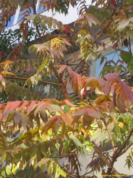 Уксусное дерево. окт. 2013г. 220