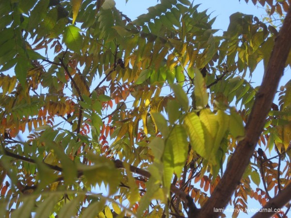 Уксусное дерево. окт. 2013г. 232