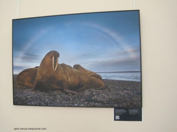 Арктическая радуга над лежбищем моржей. В.Горшков. IMG_3574