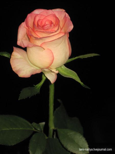 IMG_8296 Роза с Маркизы.